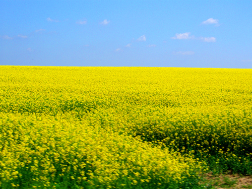 yellow flowers field. Field of yellow flowers in the